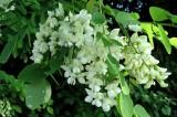 Pet invanzivnih biljaka iz vašeg komšiluka