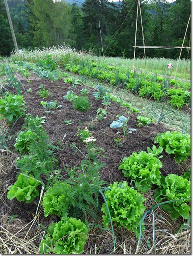 No_Dig_Vegetable_Garden_03