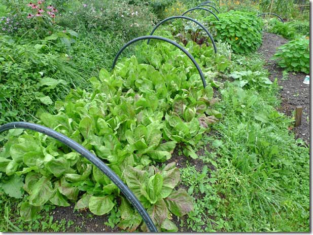 No_Dig_Vegetable_Garden_10
