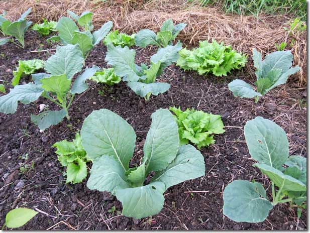 No_Dig_Vegetable_Garden_14