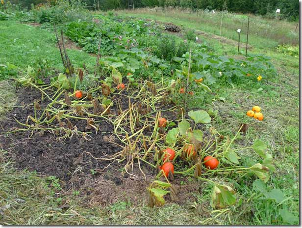 No_Dig_Vegetable_Garden_16