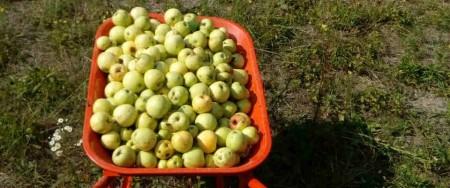jabukeukolicima